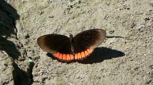 Mariposas de Bolivia, Butterflies of Bolivia
