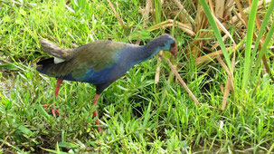 African Swamphen, Purpurhuhn, Porphyrio madagascariensis, Lake Manyara National Park