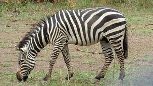 Plains Zebra, Steppenzebra, Equus quagga, Serengeti