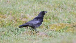 Carrion Crow, Aaskrähe, Corvus corone