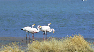 James´s Flamingo, James-Flamingo, Phoenicoparrus jamesi