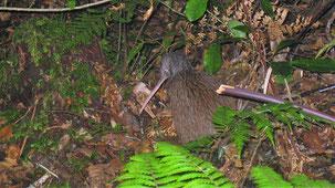 North Island Brown Kiwi, Nördlicher Streifenkiwi, Apteryx mantelli, Trounson Kaori Park