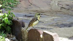 D´arnaud´s Barbet, Ohrfleck-Bartvogel, Trachyphonus darnaudii
