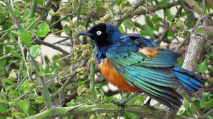 Superb Starling, Dreifarben-Glanzstar, Lamprotornis superbus