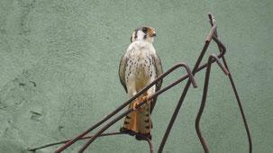American Kestrel, Buntfalke, Falco sparverius, Encarnacion