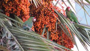Mitred Parakeet, Rotmaskensittich, Psittacara mitrata, Cochabamaba