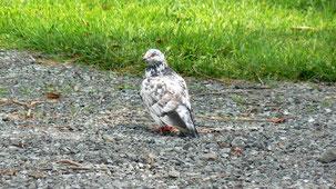 Pigeon (unidentified)
