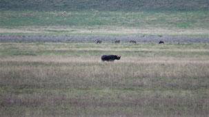 Black Rhinoceros, Spitzmaulnashorn, Diceros bicornis