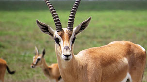 Grant´s Gazelle, Südliche Grant-Gazelle, Nanger granti, Serengeti
