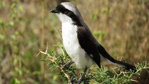 Grey-backed Fiscal, Graumantelwürger, Lanius excubitoroides