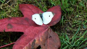 Butterflies of New Zealand