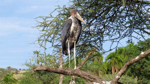 Marabou Stork, Marabu, Leptoptilos crumenifer, Serengeti