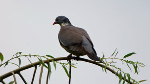 Common Wood Pigeon, Ringeltaube, Columba palumbus