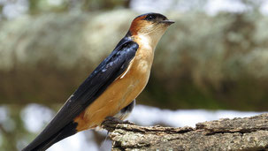 Red-rumped swallow, Rötelschwalbe, Cecropis daurica