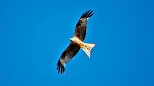 Red Kite, Rotmilan, Milvus milvus