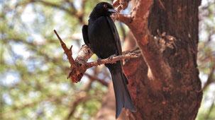 Fork-tailed Drongo, Trauerdrongo, Dicrurus adsimilis