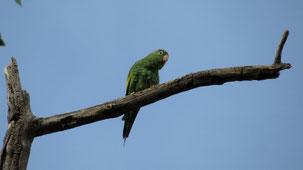Yellow-chevroned Parakeet, Kanarienflügelsittich, Brotogeris chiriri, Cochabamba