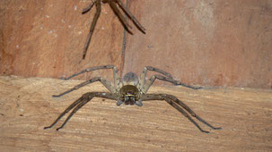 Wolf Spider, Serere Eco Reserve