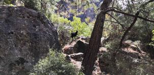 Faralya to Alinca, Wild Goat