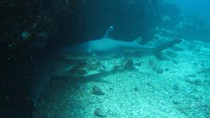 Whitetip Reef Shar, Weßspitzen-Riffhai, Triaenodon obesus