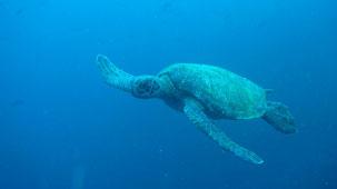 Green Sea Turtle, Grüne Meeresschildkröte, Chelonia mydas