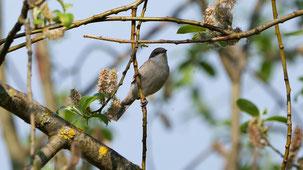 European Robin, Rotkehlchen, Erithacus rubecula