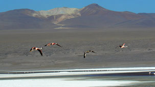Chilean Flamingo, Chileflamingo, Phoenicopterus chilensis