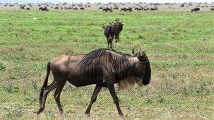 Blue Wildebeest, Streifengnu, Connochaetes taurinus, Serengeti