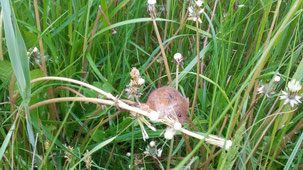 Common Vole, Feldmaus, Microtus arvalis