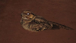 Rufous Nightjar, Rostnachtschwalbe, Antrostomus rufus, San Rafael