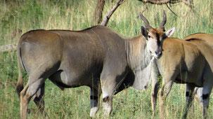 Common Eland, Elenantilope, Taurotragus oryx
