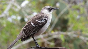 Galapagos Mockingbird, Galapagosspottdrossel, Mimus parvulus