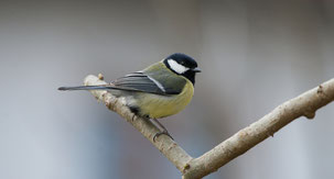Great Tit, Kohlmeise, Parus major