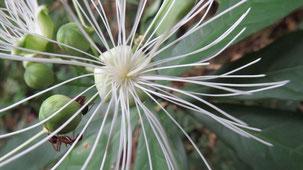 Plant in Reserva Nacional San Rafael, San Rafael National Reserve