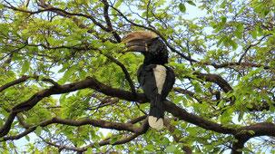 Silvery-cheeked Hornbill, Silberwangenhornvogel, Bycanistes brevis