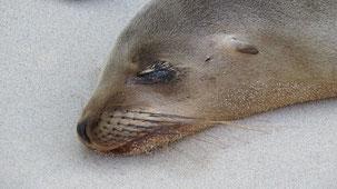 Galapagos sea lion, Galapagos-Seelöwe, Zalophus wollebaeki