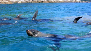 New Zealand Fur Seal, Neuseeländischer Seebär, Arctocephalus forsteri, Abel Tasman National Park