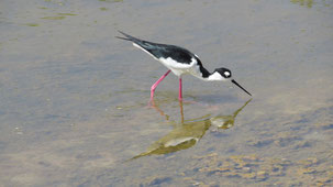 Black-necked Stilt, Amerikanischer Stelzenläufer, Himantopus mexicanus
