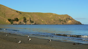 Southern Black-backed Gull, Dominikanermöwe, Larus dominicanus, Port Jackson, Coromandel Peninsula