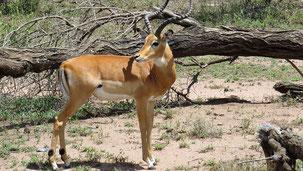 Impala, Schwarzfersenantilope, Aepyceros melampus, Serengeti