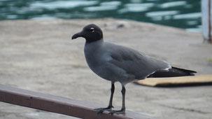 Lava Gull, Lawamöwe, Leucophaeus fuliginosus