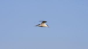 Common Tern, Flussseeschwalbe, Sterna hirundo, Kiel