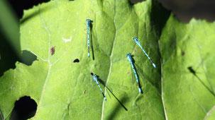 White-legged Damselfly, Blaue Federlibelle, Platycnemis pennipes