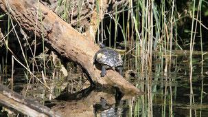 European pond terrapin, Europäische Sumpfschildkröte,  Emys orbicularis