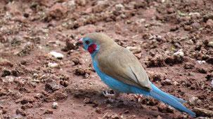Red-cheeked Cordon-Bleu, Schmetterlingsfink, Uraeginthus bengalus