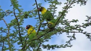 Yellow-collared Lovebird, Schwarzköpfchen, Agapornis personatus