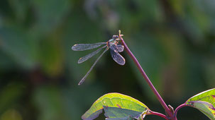 Willow emerald Damselfly, Weidenjungfer, Chalcolestes viridis