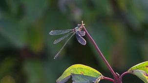 Willow emerald Damselfly, Weidenjungfer, Chalcolestes viridis