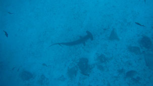 Scalloped Hammerhead, Bogenstirn-Hammerhai, Sphyrna lewini