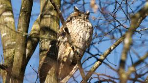 Long-eared Owl, Waldohreule, Asio otus, Tübingen